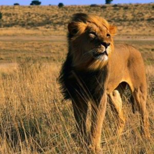 download Latest Lion King Male Africa Animal Cat Wallpaper : Desktopaper …