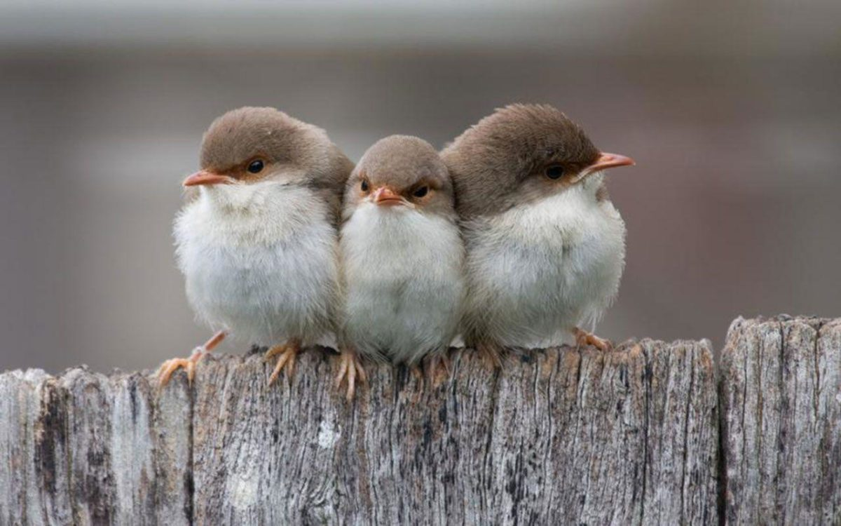 Free Wallpapers – Three Small Birds wallpaper