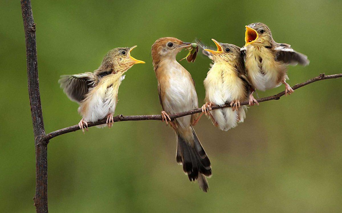 Baby Birds HQ Photo Wallpaper Cute #5381 Wallpaper | iWallDesk.
