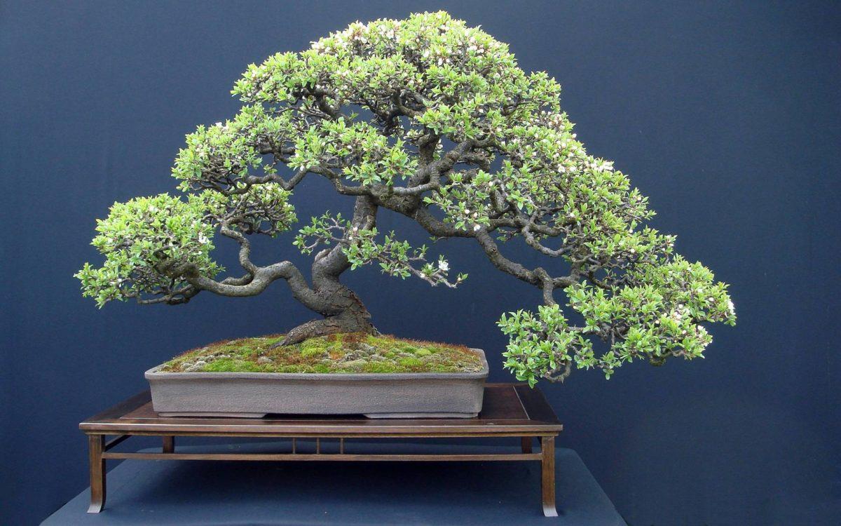 Bonsai Tree widescreen wallpaper | Wide-