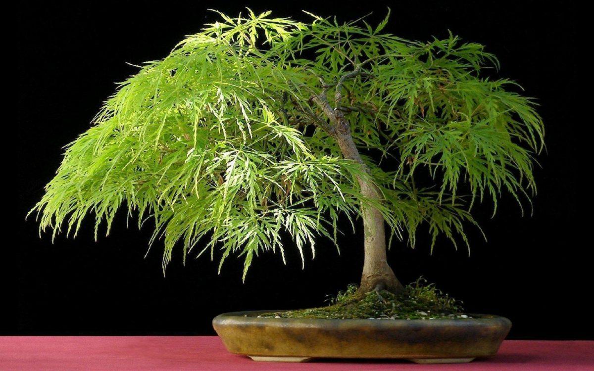 Bonsai Tree wallpaper – 451588