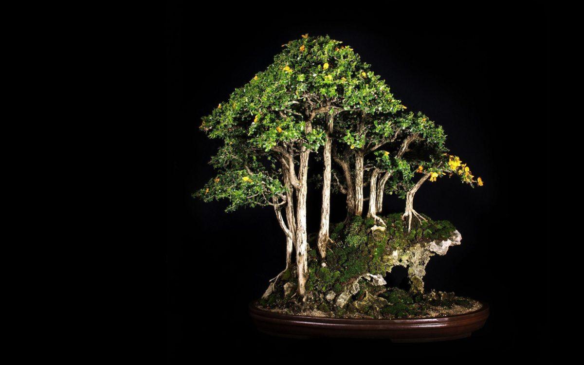 Tree Bonsai Tree Black leaves d wallpaper | 2560×1600 | 67867 …