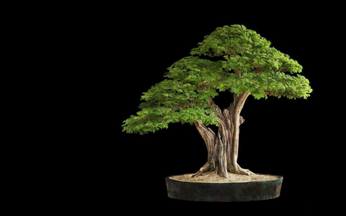 Tree Bonsai Tree leaves h wallpaper | 2560×1600 | 67912 | WallpaperUP