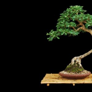 download Bonsai wallpaper – Photography wallpapers – #