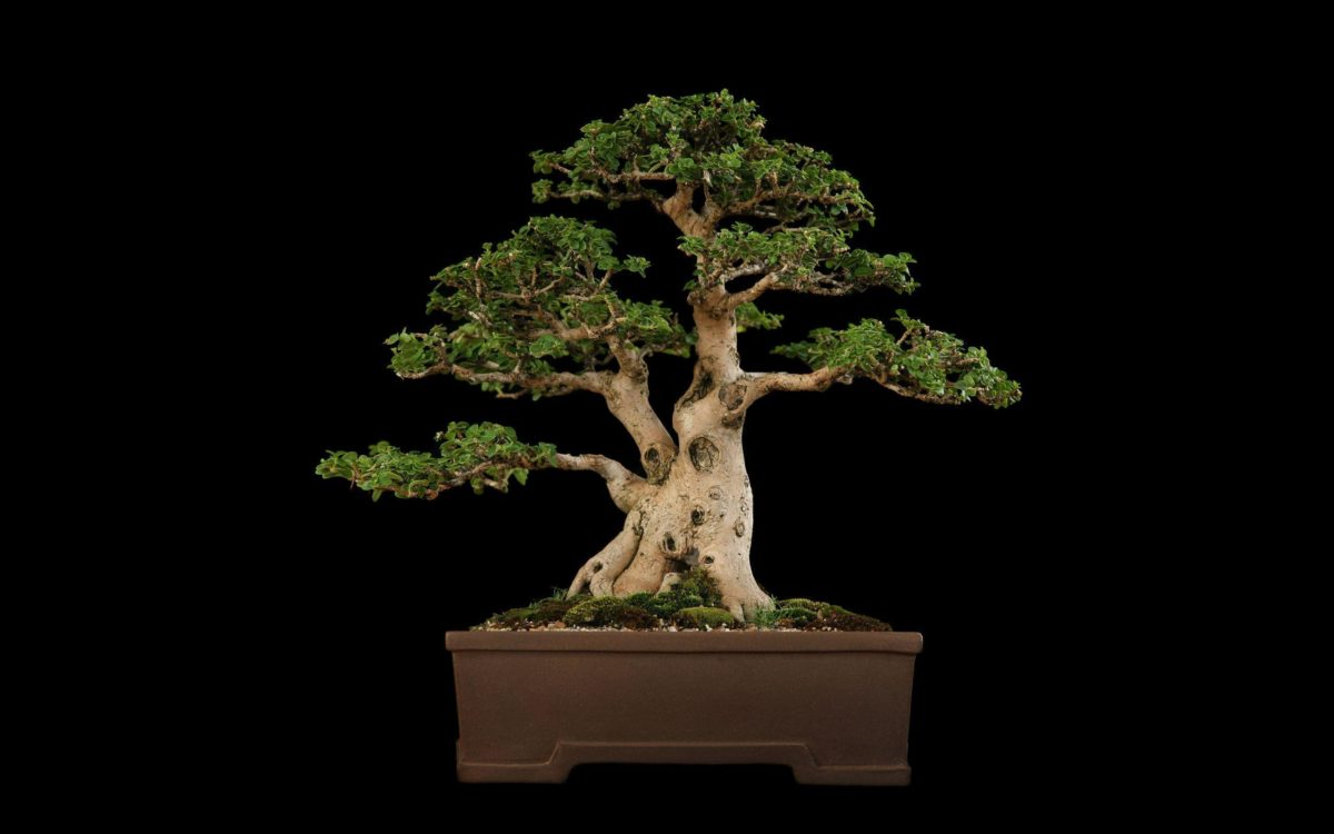 Tree Bonsai Tree Black f wallpaper | 2560×1600 | 67866 | WallpaperUP