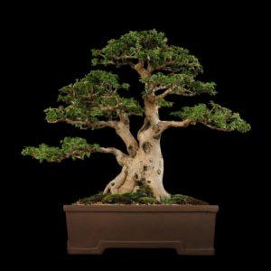 download Tree Bonsai Tree Black f wallpaper | 2560×1600 | 67866 | WallpaperUP
