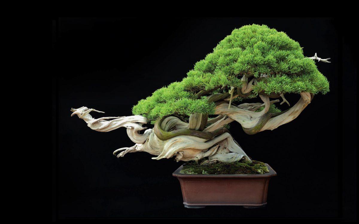 Tree Bonsai Tree leaves g wallpaper | 2560×1600 | 67870 | WallpaperUP