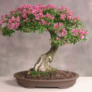 download Beautiful Bonsai Tree HD Wallpapers | Photo and Wallpapers