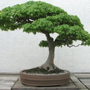 download Bonsai Tree Wallpapers and Background