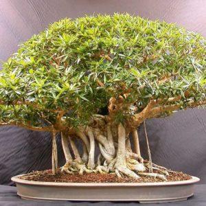 download Beautiful Bonsai Tree Images – Images