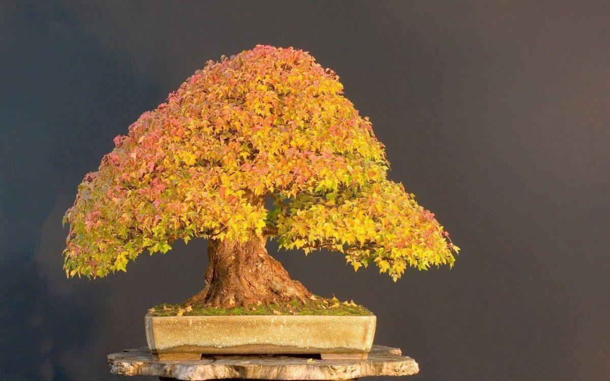 1280×800 Bonsai Tree desktop PC and Mac wallpaper