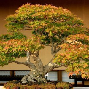 download Bonsai Tree HD Wallpapers Photos Images