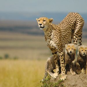 download 20 HD Cheetah Wallpaper | CuriositySplash