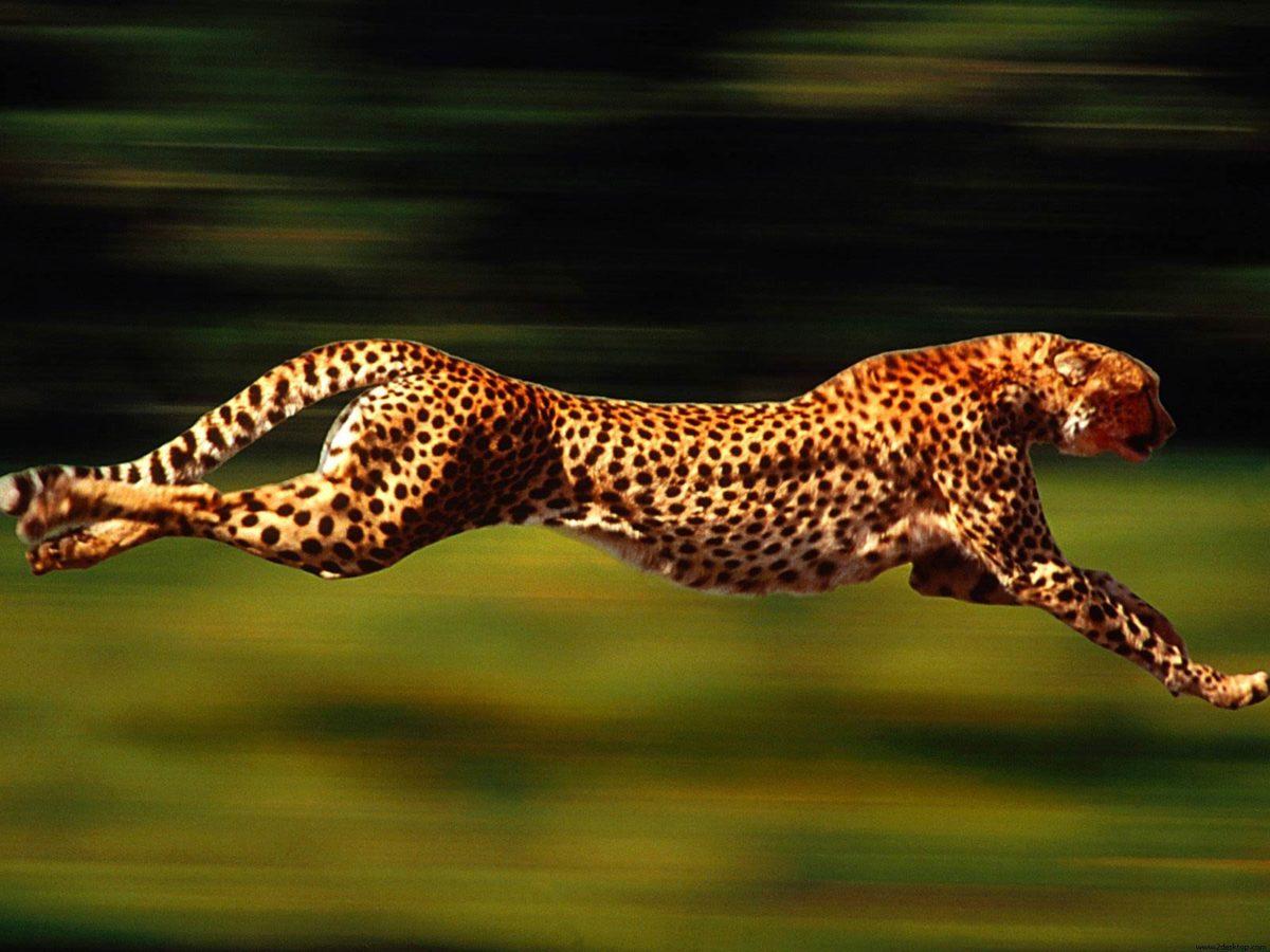Cheetah Wallpapers – HD Wallpapers Inn
