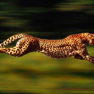 download Cheetah Wallpapers – HD Wallpapers Inn