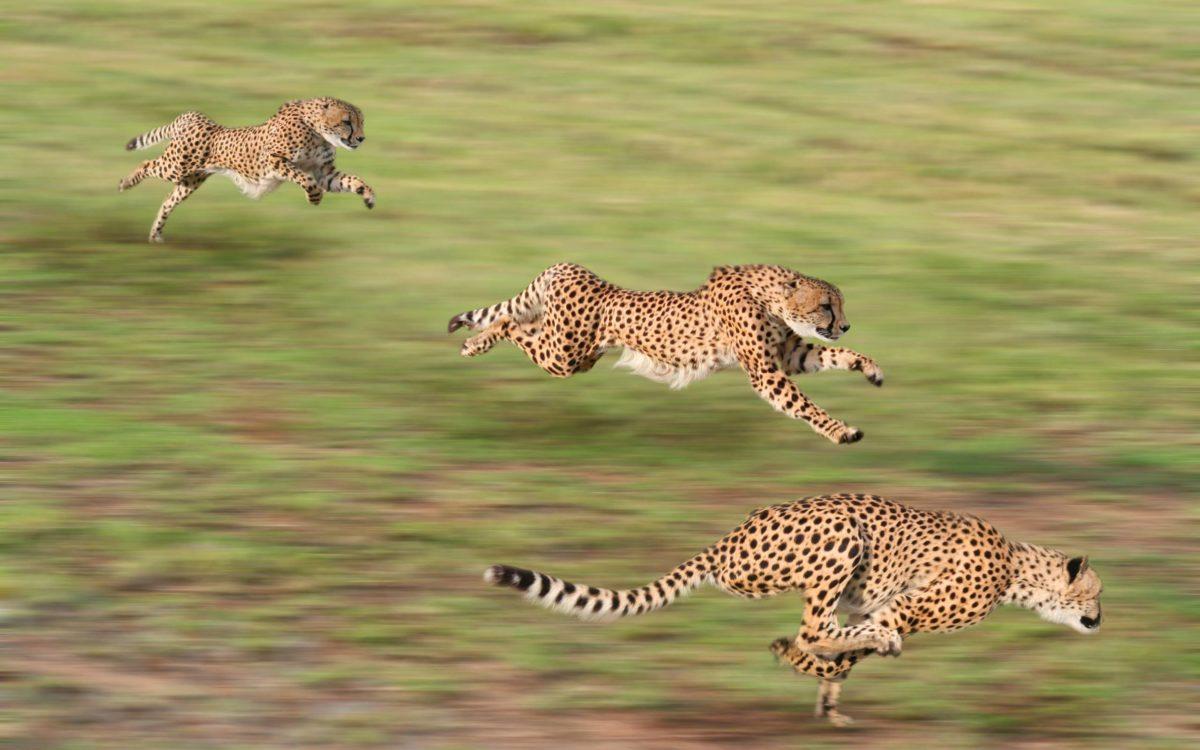 226 Cheetah Wallpapers | Cheetah Backgrounds
