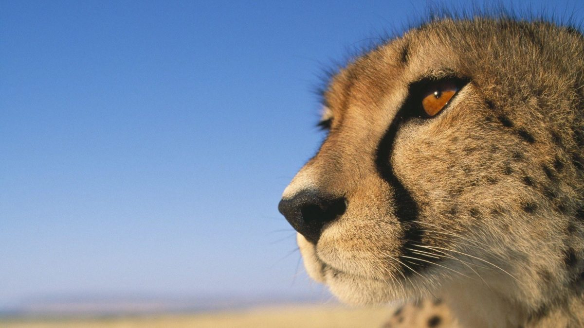 226 Cheetah Wallpapers | Cheetah Backgrounds Page 5