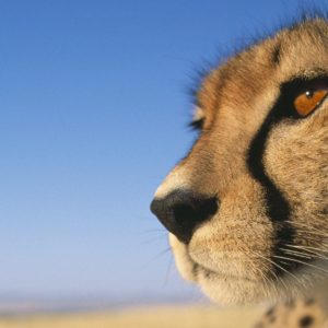 download 226 Cheetah Wallpapers   Cheetah Backgrounds Page 5