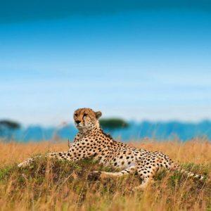 download Cheetah Wallpaper 20914 #8803001