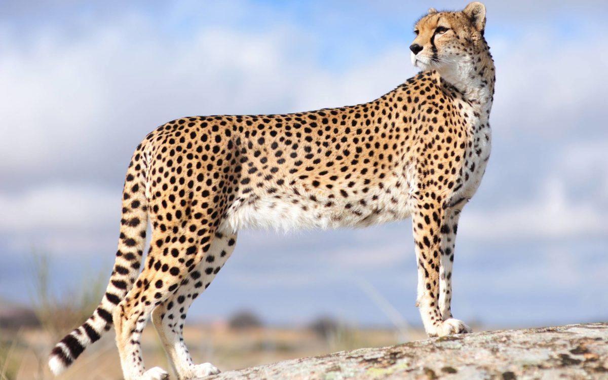 AmazingPict.com | Cheetah Wallpaper HD