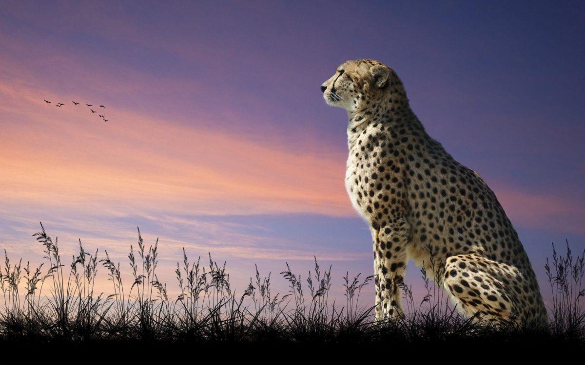 Cheetah wallpaper | 2560×1600 | 98339 | WallpaperUP