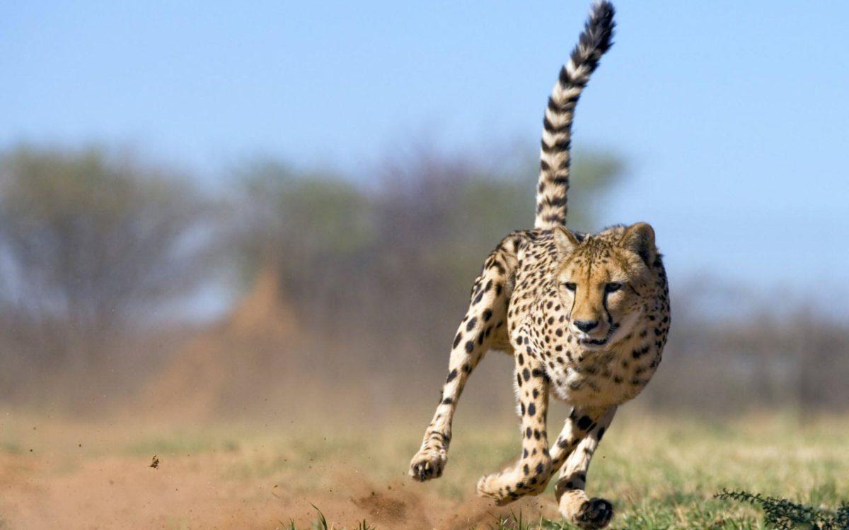 Cheetah Wallpaper hd |Cattpix.com