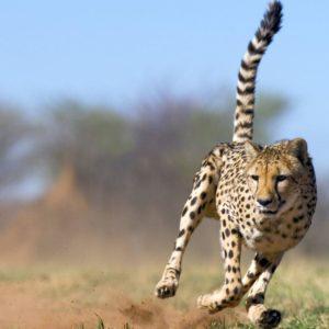 download Cheetah Wallpaper hd |Cattpix.com
