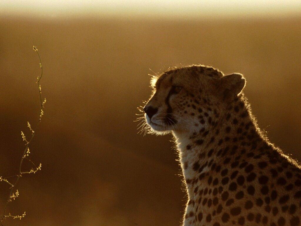 Cheetah HD wallpapers – HD Wallpapers Inn