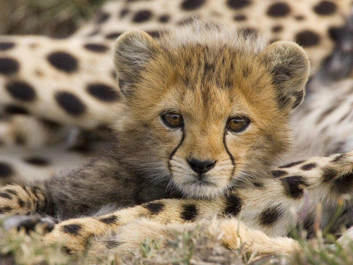 Face Cute Cheetah Wallpaper #5517 Wallpaper | Wallpaper Screen …