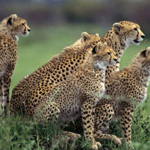 download The Cheetah Orphans Download Wallpaper Nature 1024x786PX …