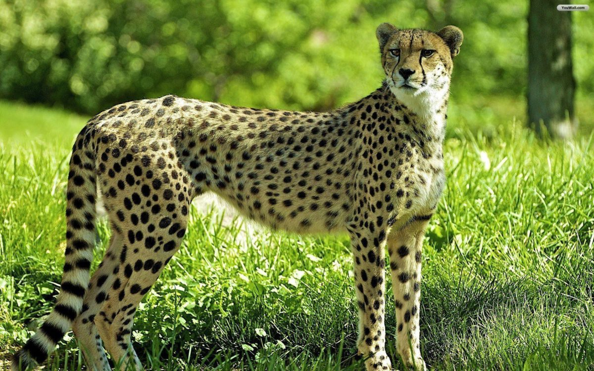 Cheetah Wallpapers – Full HD wallpaper search – page 8