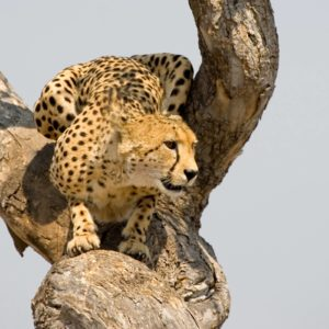 download 226 Cheetah Wallpapers | Cheetah Backgrounds Page 2