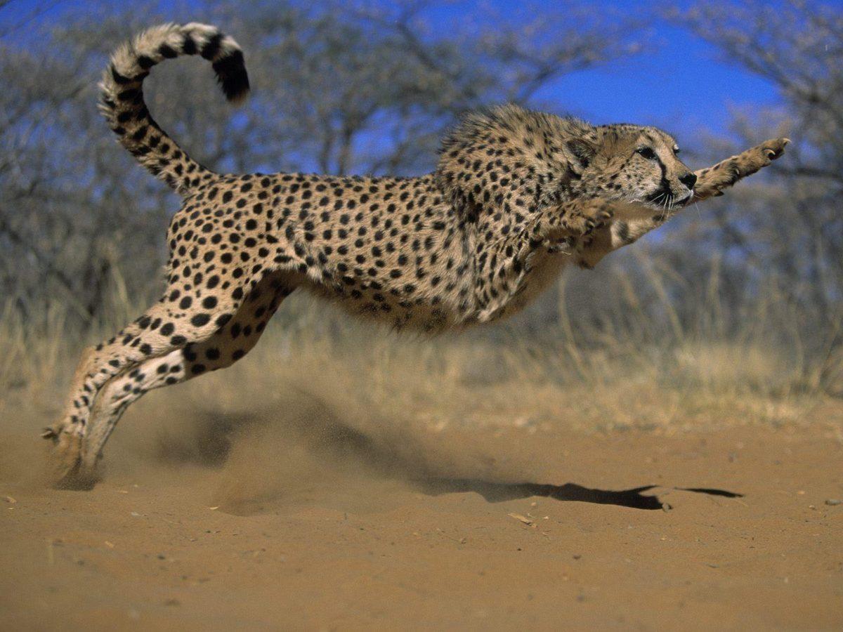 Pix For > Cheetah Wallpaper
