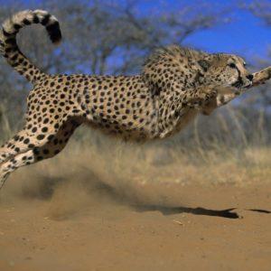 download Pix For > Cheetah Wallpaper