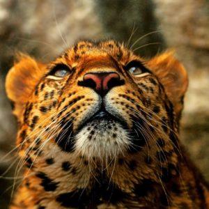 download Black Cheetah Wallpaper