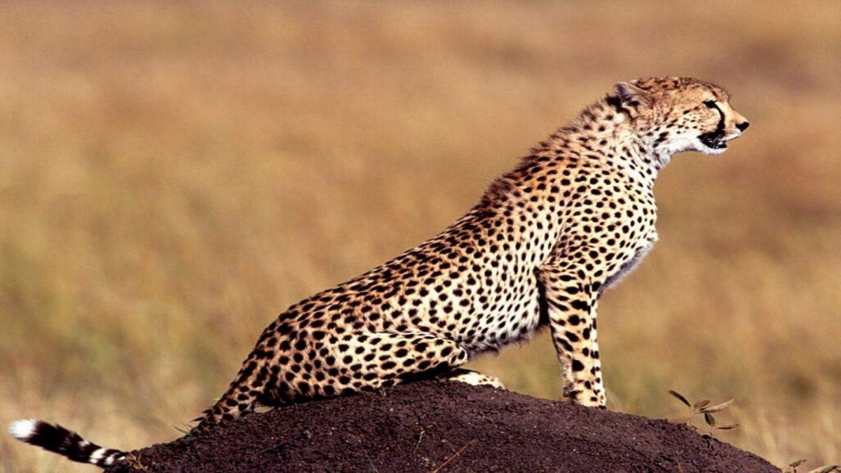 Cheetah Wallpaper | Animal HD Wallpapers
