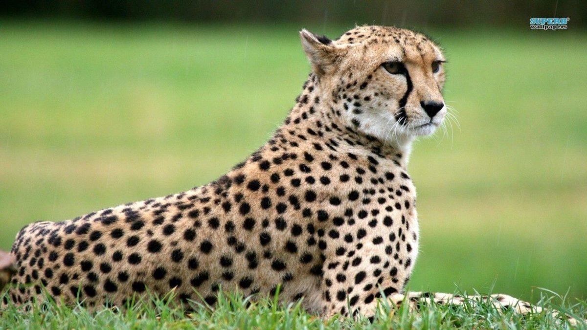Cheetah wallpaper – Animal wallpapers – #