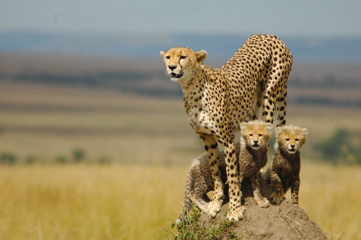 229 Cheetah Wallpapers | Cheetah Backgrounds Page 3