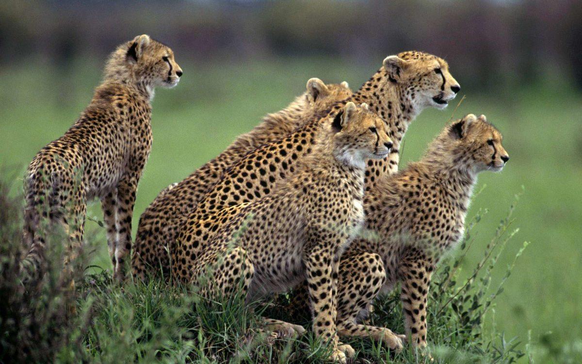 15 cheetah wallpapers | hdwallpapersfast