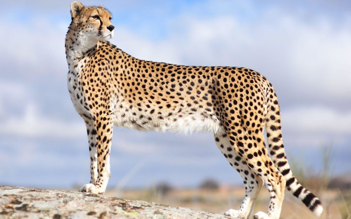 Cheetah Wallpapers – Full HD wallpaper search