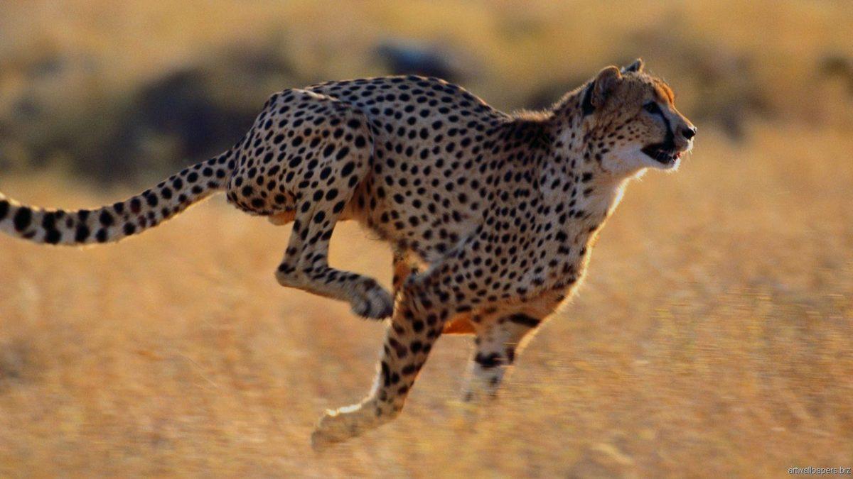 Animals For > African Cheetah Wallpaper