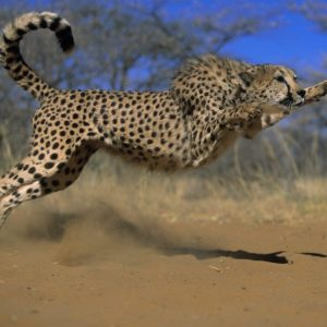 download Page 68 | Cheetahdesktophdwallpaper hd wallpapers , Cheetah …