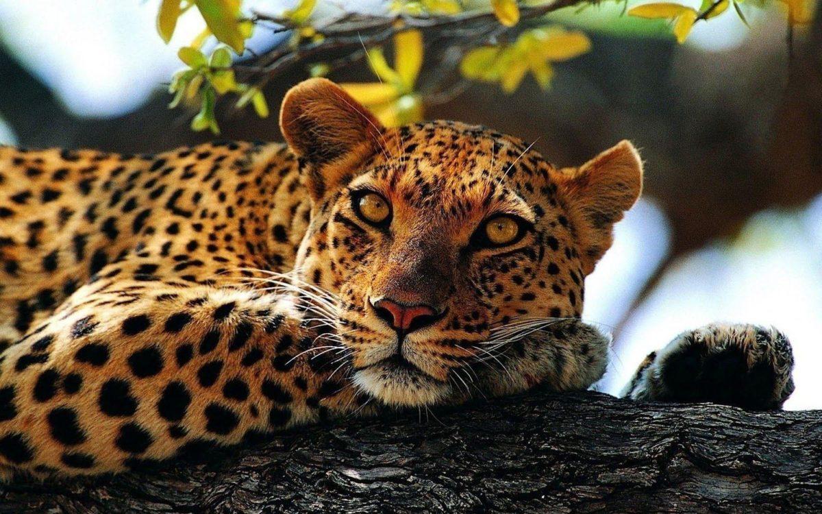 Animals For > Cheetah Animal Background