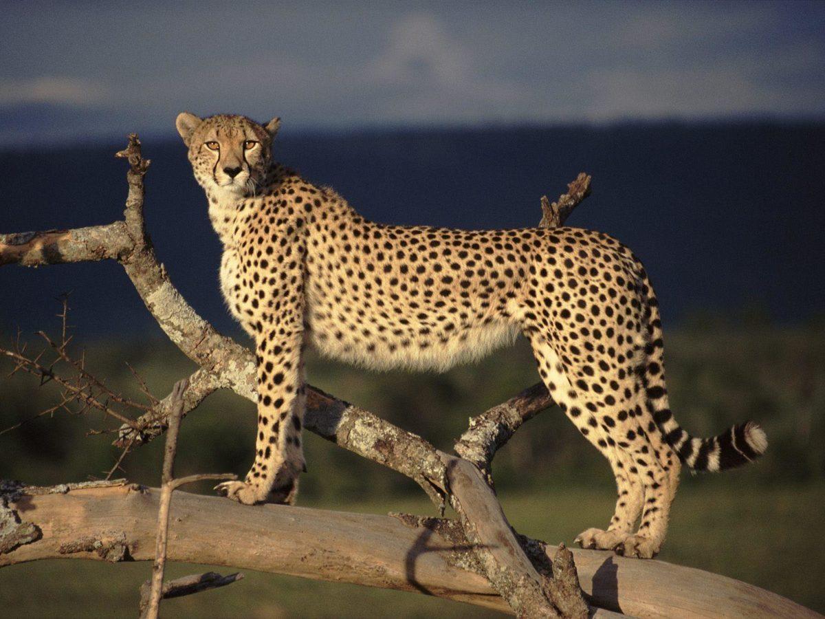 cheetah scouting wallpaper – Animal Backgrounds