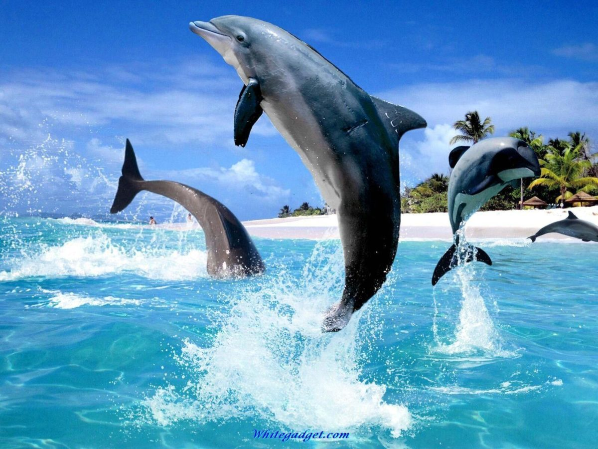 Jumping Dolphin – Animals Wallpapers