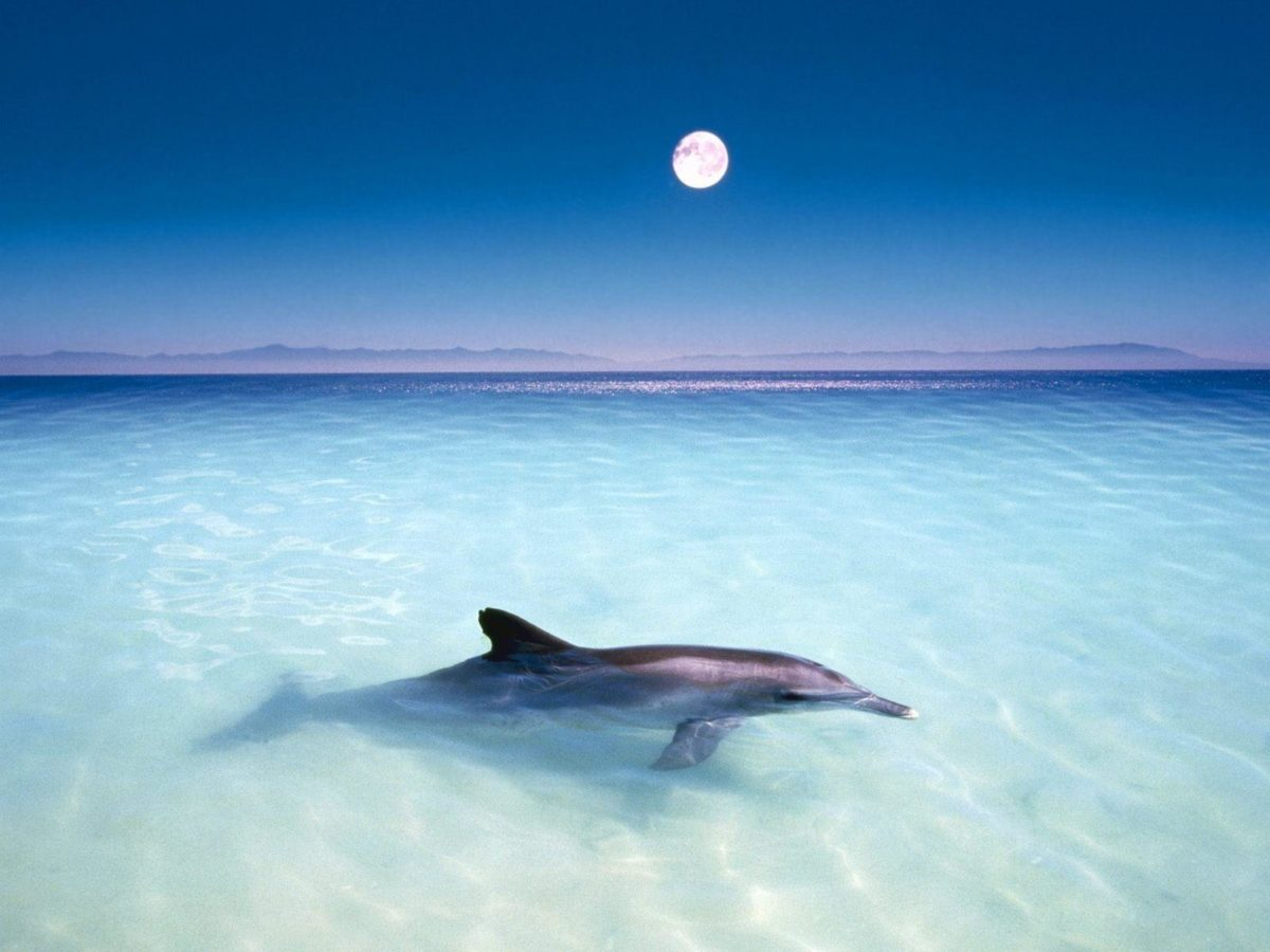 Free-Dolphin-Wallpaper- …