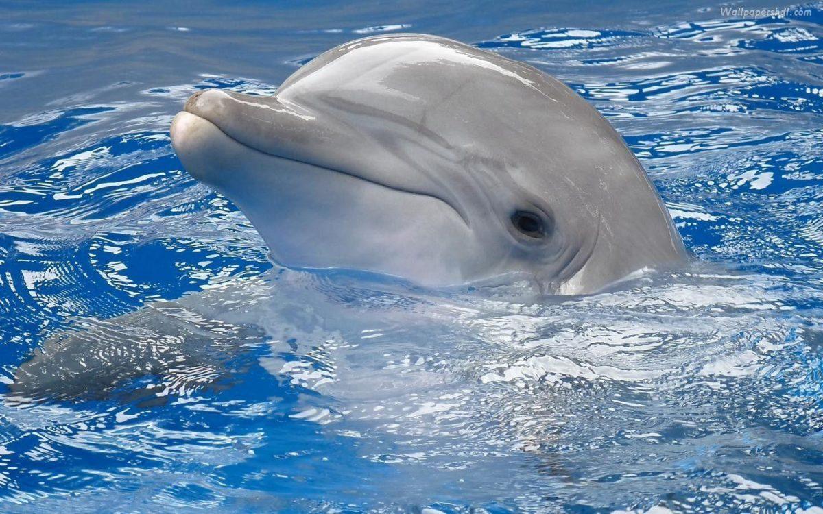 Dolphin Wallpaper Computer Desktop – imageswall.com