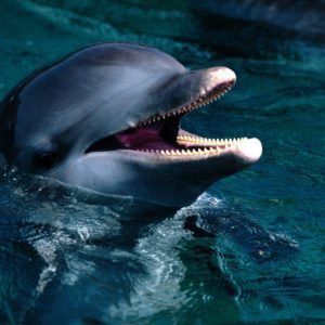 download Free Dolphin Wallpaper, Screensavers, Pictures, Videos and Site …