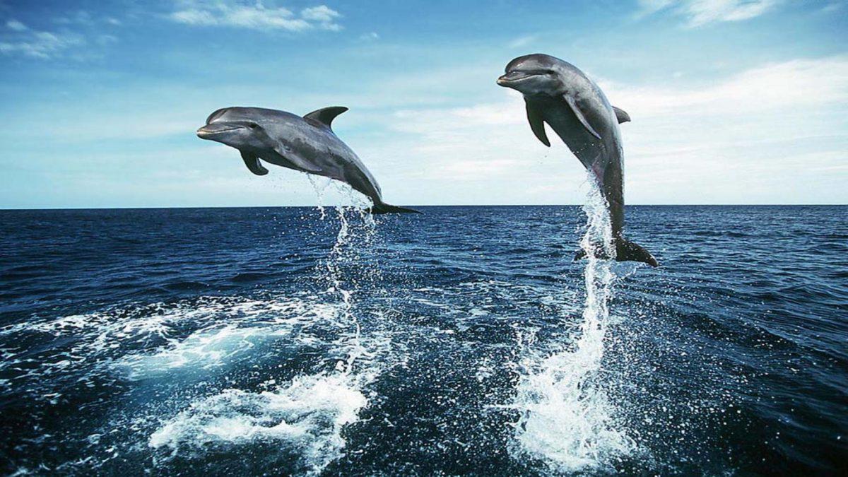 Dolphin Jumping HD Wallpapers – HD Wallpapers Inn