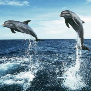download Dolphin Jumping HD Wallpapers – HD Wallpapers Inn
